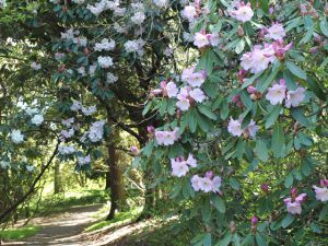 Rhododendrons in Loderi Valley.