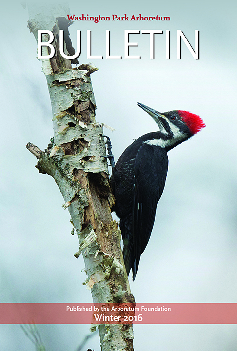 Winter 2016 cover: A female Pileated Woodpecker on Foster Island (photo by Larry Hubbell)