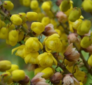 Mahonia 'Arthur Menzies', available in the Greenhouse.