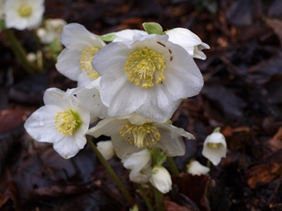 Helleborus niger 'HGC Josef Lemper' blooming in the Witt Winter Garden.