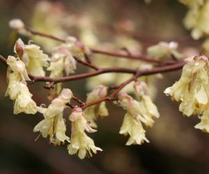 Corylopsis pauciflora (photo courtesy Richie Steffen/Great Plant Picks)