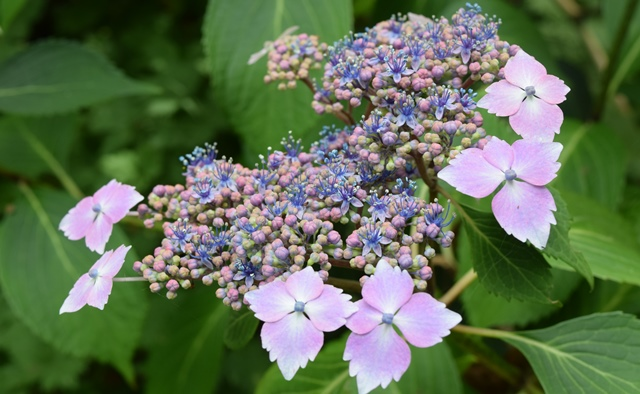 Hydrangea macrophylla 'Bluebird' blooming in Rhododendron Glen.