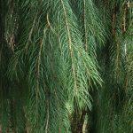 Arboretum Treasures: The Morinda Spruce