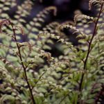 Five Great Ferns for Northwest Gardens