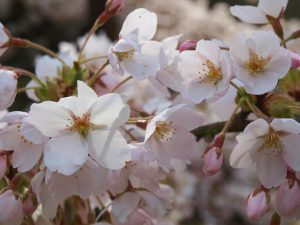 Prunus x yedoensis, one of the beautiful cherry trees found on Azalea Way and in this year's Arboretum display garden.