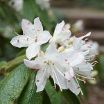 Hidden Treasure of the Arboretum: Rough-Leaved Rhododendron