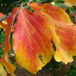 Persian Ironwood: Beautiful Flowers, Bark, and Fall Foliage