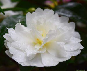 'Mine-no-yuki' blooming in the Winter Garden in November.