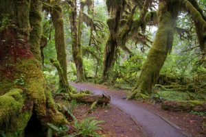 The Hall of Mosses in the Hoh Rain Forest. (Photo courtesy Konrad Roeder/Wikimedia Commons)