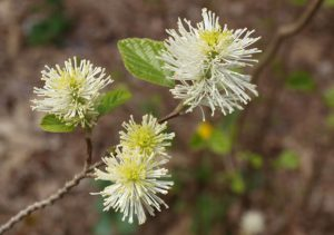 Large fothergilla blooming by the upper pond in the Woodland Garden.