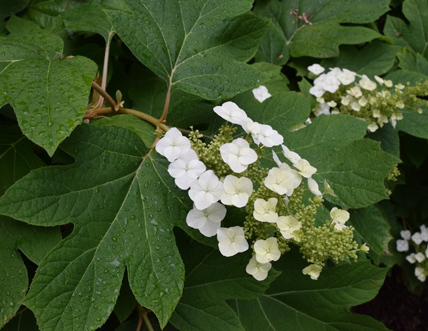 Oakleaf hydrangea blooming in the Woodland Garden