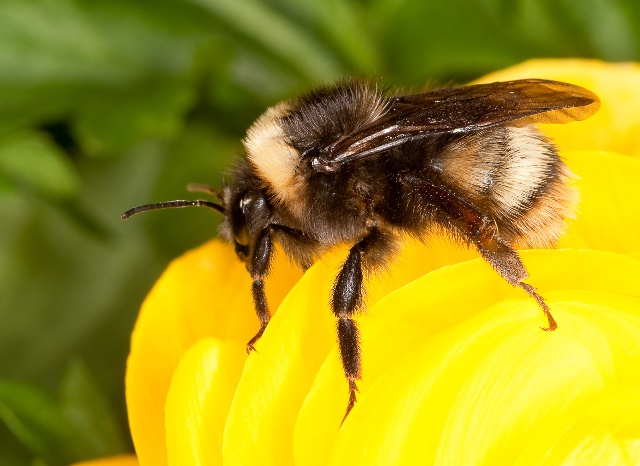 The once-common western bumble bee, Bombus occidentalis. (Photo by the USDA Agricultural Research Service/Wikimedia Commons)