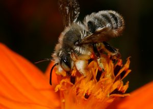 Male western leafcutter bee, Megachile perihirta ((c) Celeste Ets-Hokin 2013/www.discoverlife.org)