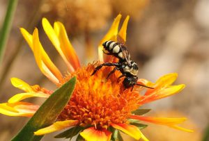 Concave cuckoo bee, Triepeolus concavus, on a blanketflower. (Photo by Kathy Keatley Garvey/UC Davis Bug Squad Blog)