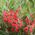 Bulletin Article: Shrubs and Trees for a Warmer Seattle