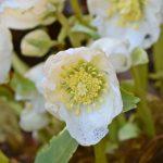 Arboretum Scene: Early-Blooming Hellebore in the Winter Garden