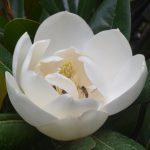Magnolias in the Arboretum