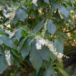 Hidden Treasure of the Arboretum: Japanese Sweet Shrub
