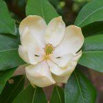 Hidden Treasure of the Arboretum: Sweetbay Magnolia